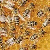 דבורים, יערת דבש