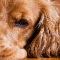 כלב, קוקר ספנייל
