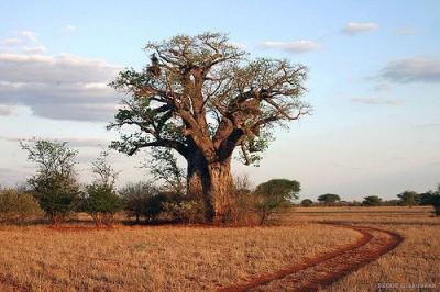 באובב, זימבבואה