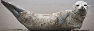 כלב ים