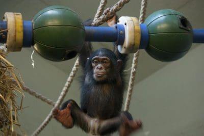 שימפנזה, אינטליגנציה