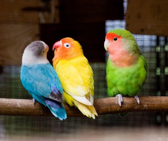 ציפורים, תוכים, קינאה