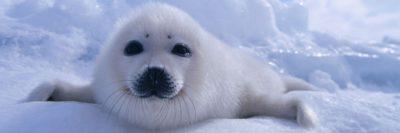 כלב ים לבן
