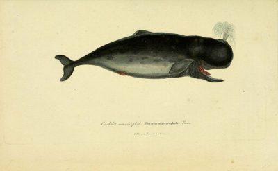 לוויתן זרע