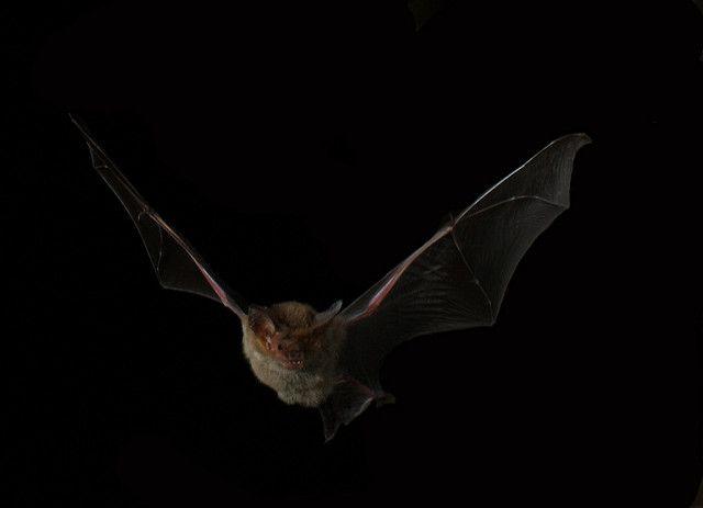 עטלף, אוסטרליה
