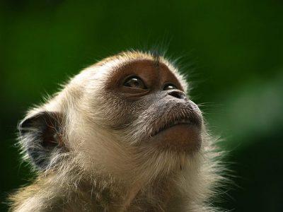 מקאק, קוף