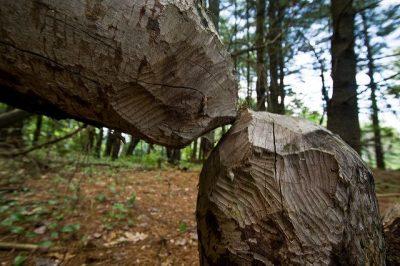 בונים, עצים