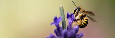 דבורה, פרח, אבקנים