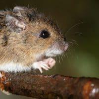 עכבר, עכבר עצים