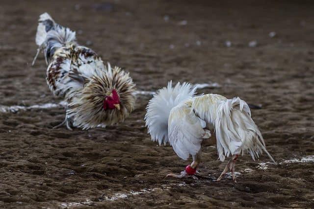 קרב תרנגולים, פיליפינים