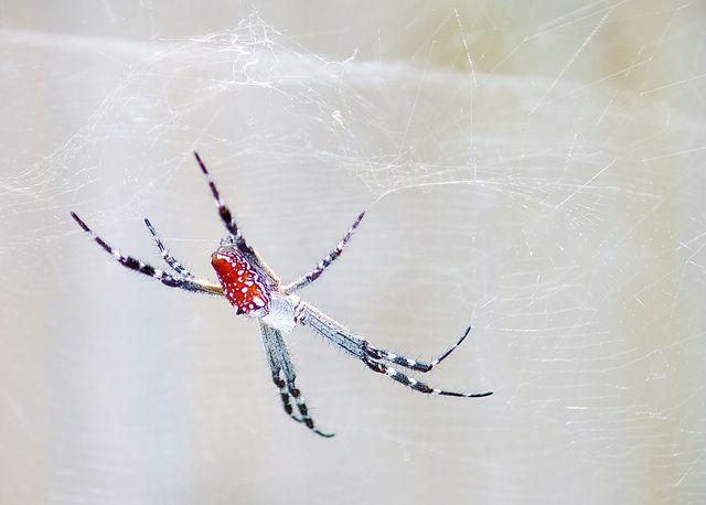 עכביש אוהל