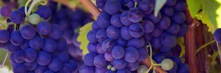 ענבים, גפן, יין