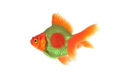 דג זהב בנגלי
