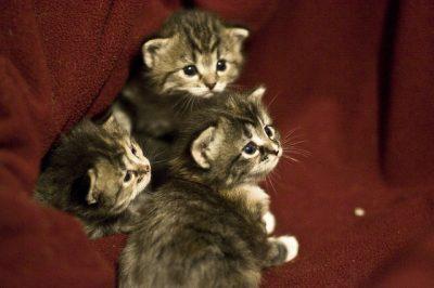 חתלתולים