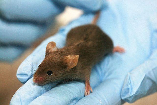 עכבר מעבדה