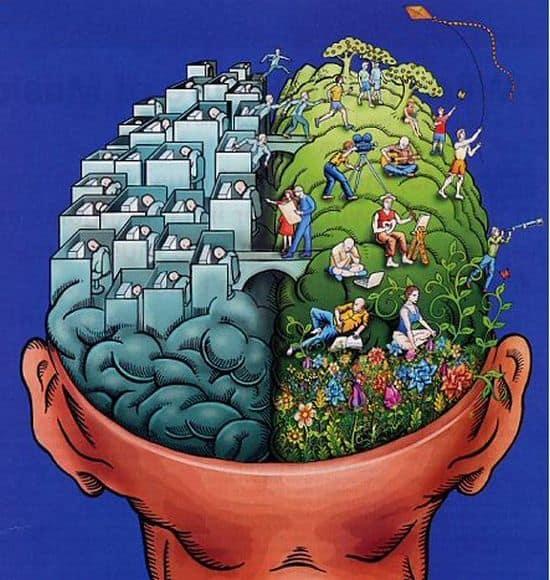 מוח, אונות