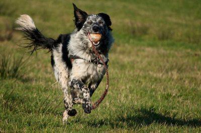 כלב רץ