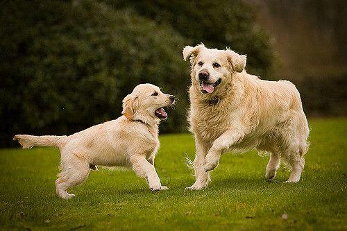 כלבים משחקים