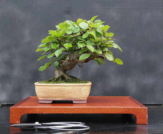 בונסאי, עץ יפני
