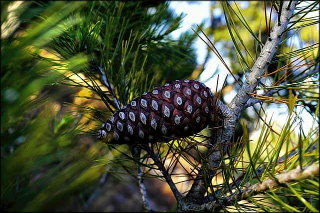 אצטרובל, עץ אורן