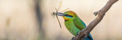ציפור, יתוש, אוסטרליה