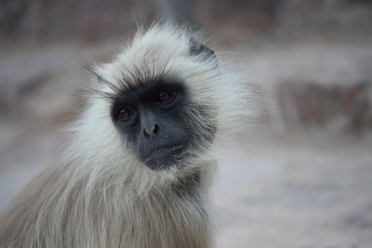 קוף, הודו, לנגור אפור