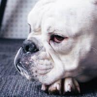 בולדוג, כלב בולדוג