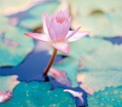 פרח לוטוס