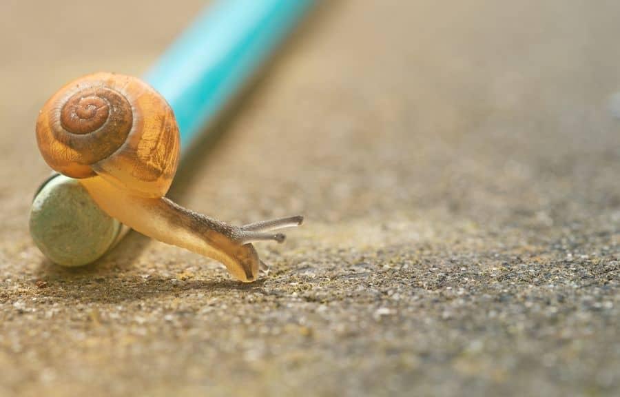 חילזון, עיפרון