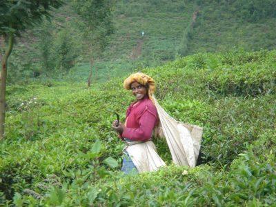 נילגיריס, הודו, קוטפת תה, תה, קטיף