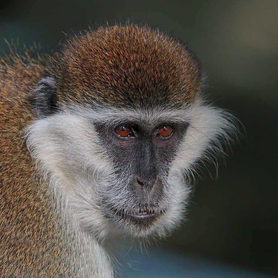 קוף סוואנה ירוק