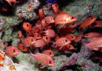 להקת דגים, הוואי, הישרדות