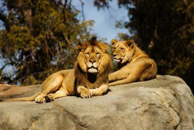 אריות, אריה, לביאה, זכר ונקבה