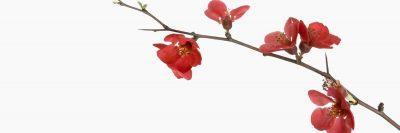 פריחה אדומה, קוצים, קוצנית, פרחים
