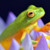 צפרדע עצים, נופר, אוסטרליה