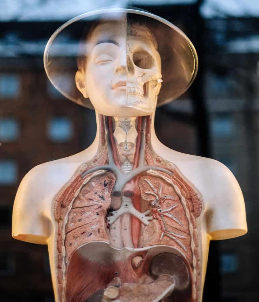 גוף, דגם של גוף, אברים