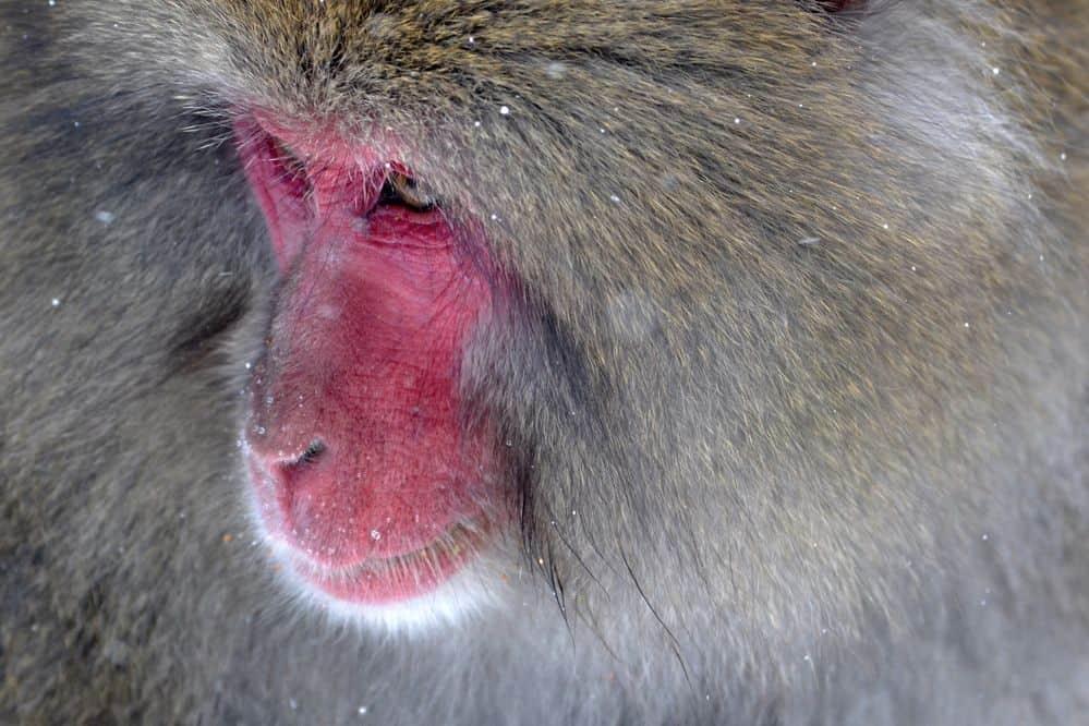 בבון, קוף
