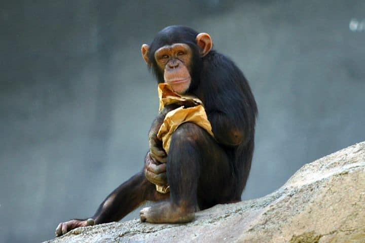 שימפנזה, גן חיות, לוס אנג'לס