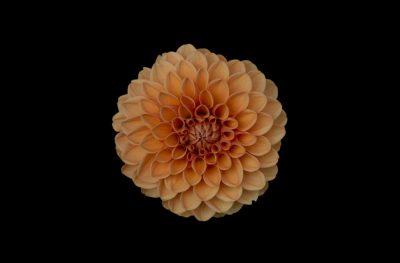 פרח, דליה, יופי, מתמטיקה