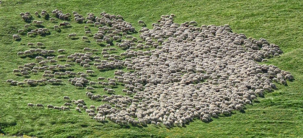 עדר, כבשים