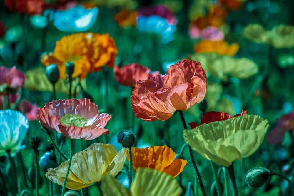 פרחים, פרג, גן בוטני, שיקגו