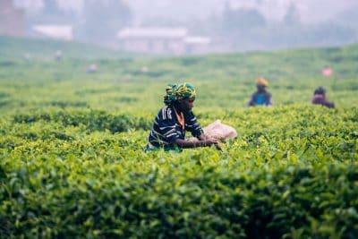 רואנדה, מטע תה, אישה עובדת