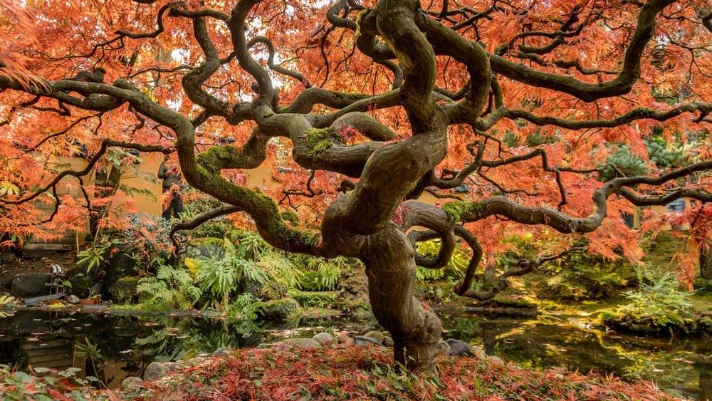עץ אדר יפני