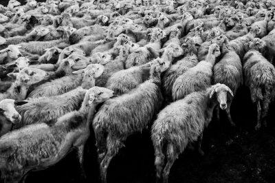 כבשים, עדר, ממוצע, חוק המספרים הגדולים