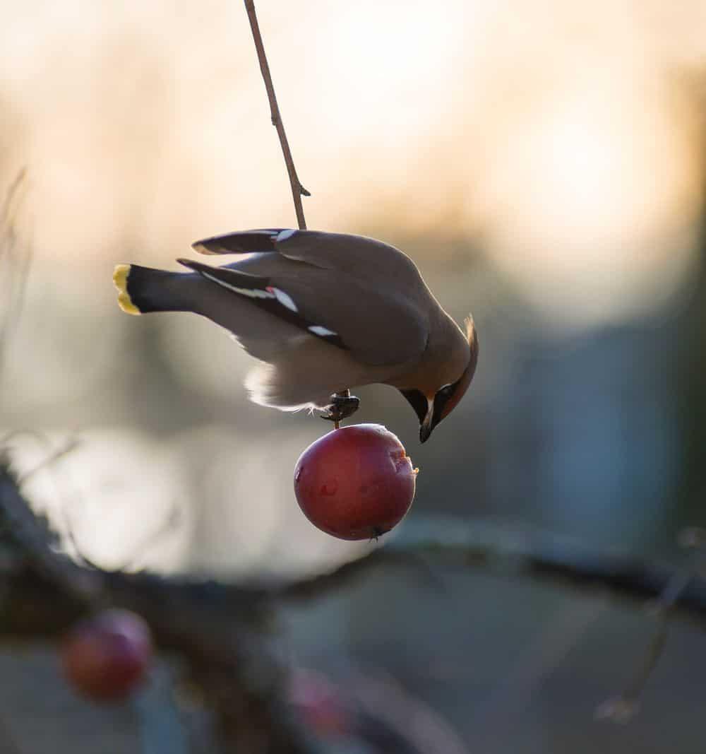 ציפור אוכלת תפוח, ציפור, תפוח