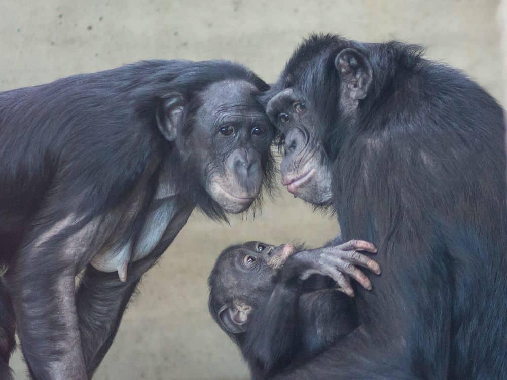 בונובו, קופים, פוליאמוריה