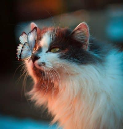 חתול, פרפר