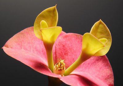 פרח, קינאה, תחרות