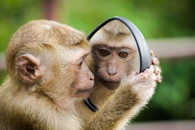 קוף, מראה, התבוננות
