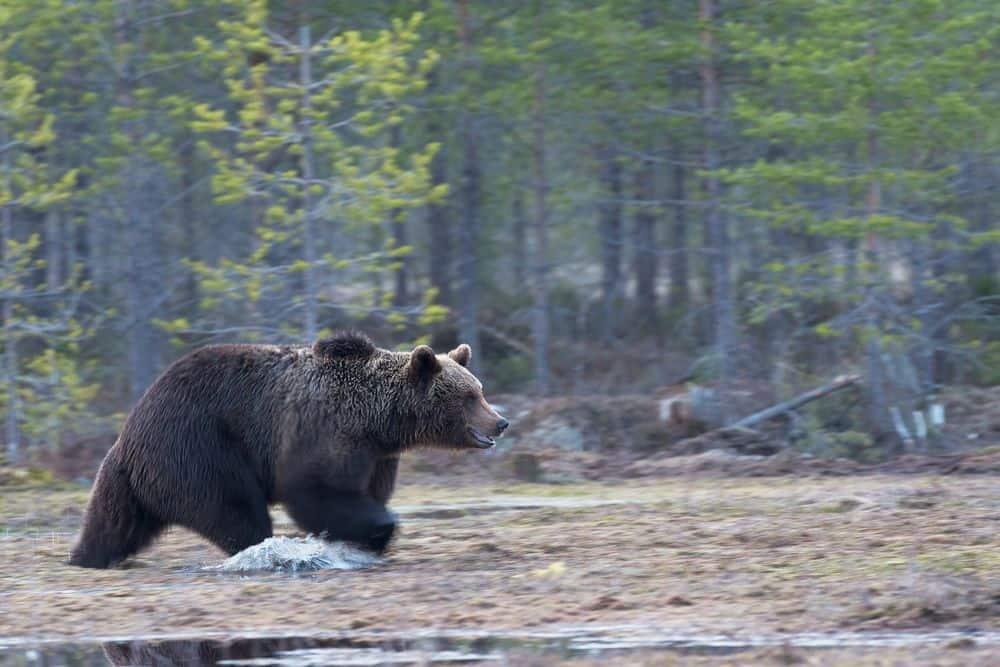 דוב, גריזלי
